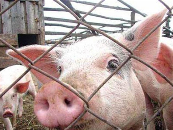 Вспышка африканской чумы свиней выявлена вфирме вПодмосковье