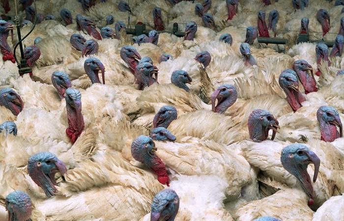 ВВоронеже отыскали вирус птичьего гриппа вмясе индеек