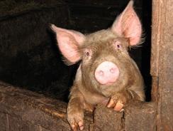 Ульяновцу за кражу свиньи грозит до 5 лет лишения свободы