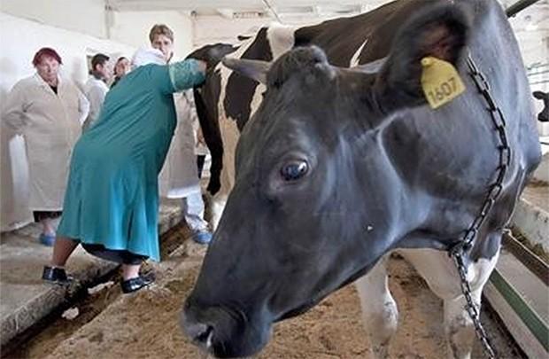 В селе Уразгильдино сразятся техники по осеменению коров allnews73.ru - Все новости Ульяновска и области